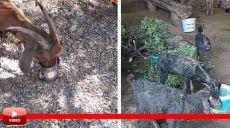 6 Gün Alevlerin Arasında Mahsur Kalan Keçi, Kurtarıldıktan Sonra Litrelerce Suyu Kana Kana İçti